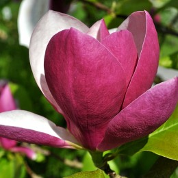 Magnolia March till Frost