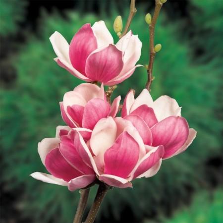 Magnolia Satisfaction - Arbori ornamentali - AgroDenmar.ro