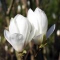 Magnolia Soulangeana Alba