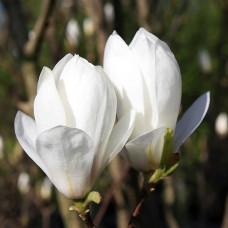 Magnolia Soulangeana Alba 80-100cm