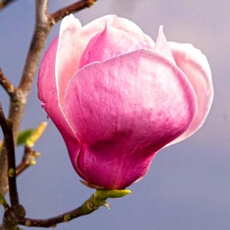 Magnolia soulangeana Lennei - Arbori ornamentali - AgroDenmar.ro