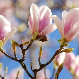 Magnolia Soulangeana Speciosa - Tip copac