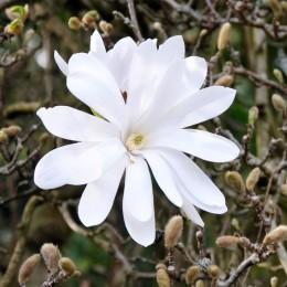Magnolia Stellata - Arbori ornamentali - AgroDenmar.ro
