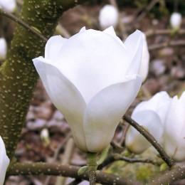 Magnolia Suishoren