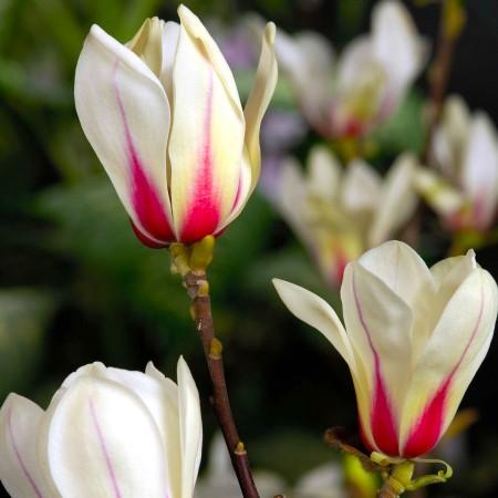 Magnolia Sunrise - Arbori ornamentali - AgroDenmar.ro