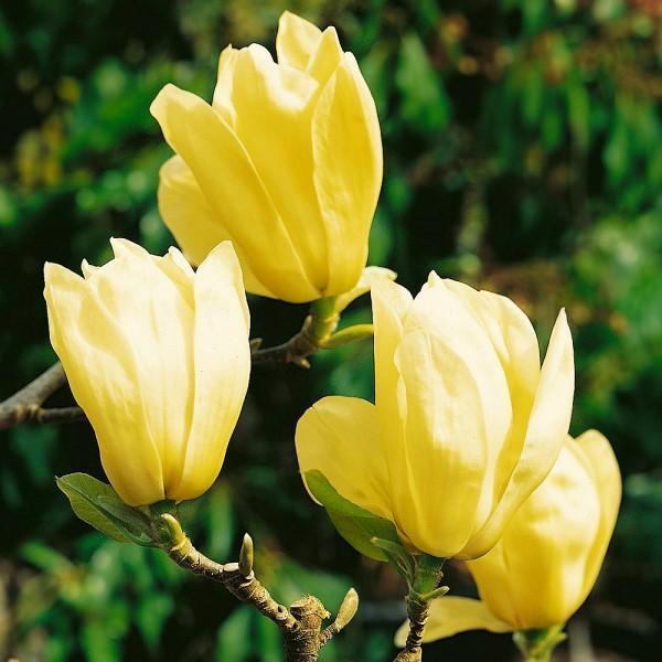 Magnolia Yellow River - Arbori ornamentali - AgroDenmar.ro
