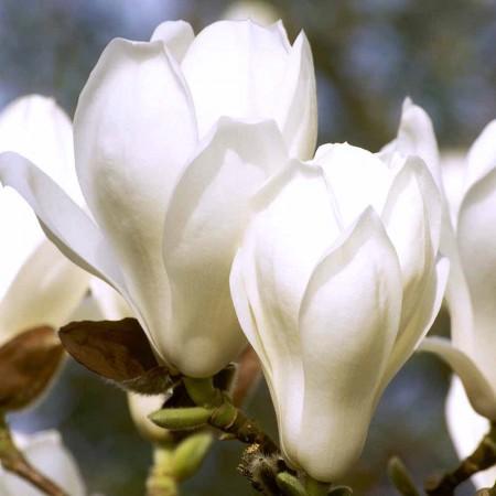 Magnolia Yulan - Arbori ornamentali - AgroDenmar.ro