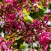 Mar ornamental (Toringo Scarletta) - Arbori ornamentali - AgroDenmar.ro