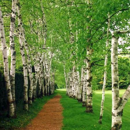 Mesteacan alb - Arbori ornamentali - AgroDenmar.ro