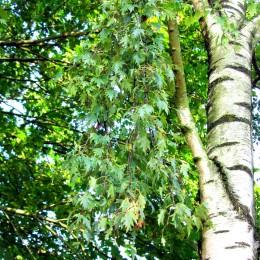 Mesteacan Crispa - Arbori ornamentali - AgroDenmar.ro