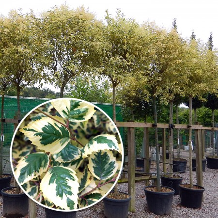 Mesteacan Nigra Shiloh Splash - tip tufa - Arbori ornamentali - AgroDenmar.ro