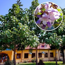 Paulownia Ornamental 1,5 - 3 metri