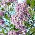 Arbori ornamentali - Paulownia Ornamental 1,5 - 3 metri