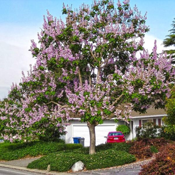 Arbori ornamentali - Paulownia Tomentosa ornamental