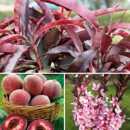 Piersic Imparatul Purpuriu - Arbori ornamentali - AgroDenmar.ro