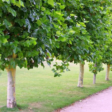 Platan englezesc - Arbori ornamentali - AgroDenmar.ro