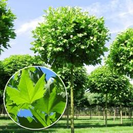 Platan globular - Alphen's Globe - Arbori ornamentali - AgroDenmar.ro