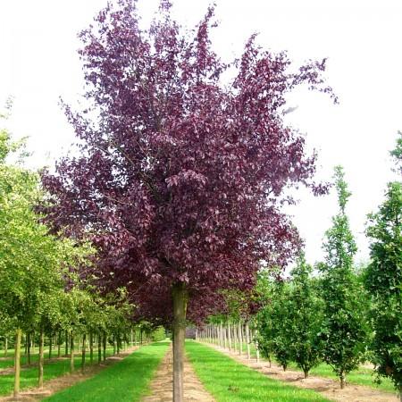 Prunus cerasifera Nigra - Arbori ornamentali - AgroDenmar.ro