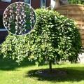 Salcie Curgatoare altoita - Salix caprea pendula