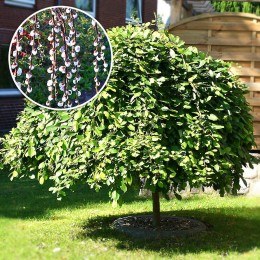 Salcie Capreasca altoita - Salix caprea pendula - Arbori ornamentali - AgroDenmar.ro