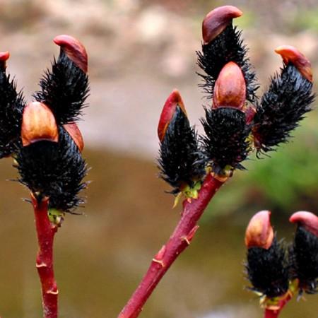 Salcie Neagra - Arbori ornamentali - AgroDenmar.ro