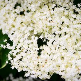 Soc alb - Arbori ornamentali - AgroDenmar.ro