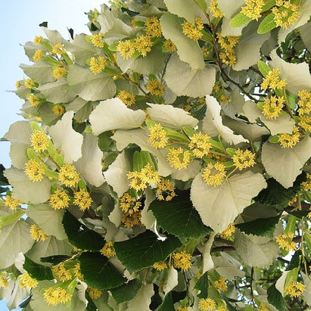 Tei argintiu - Arbori ornamentali - AgroDenmar.ro