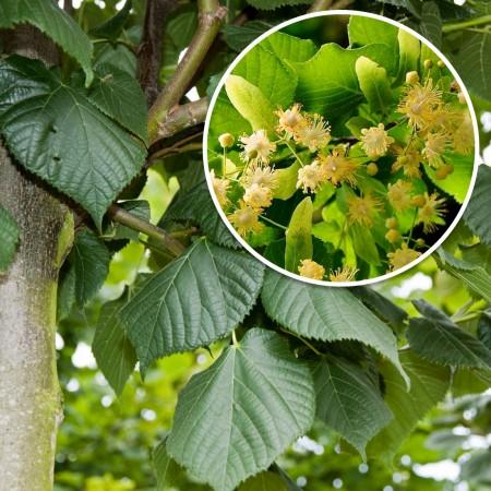 Tei cu frunza mare - Arbori ornamentali - AgroDenmar.ro