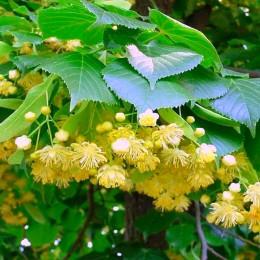 Tei Mirositor - Tilia Cordata - Arbori ornamentali - AgroDenmar.ro