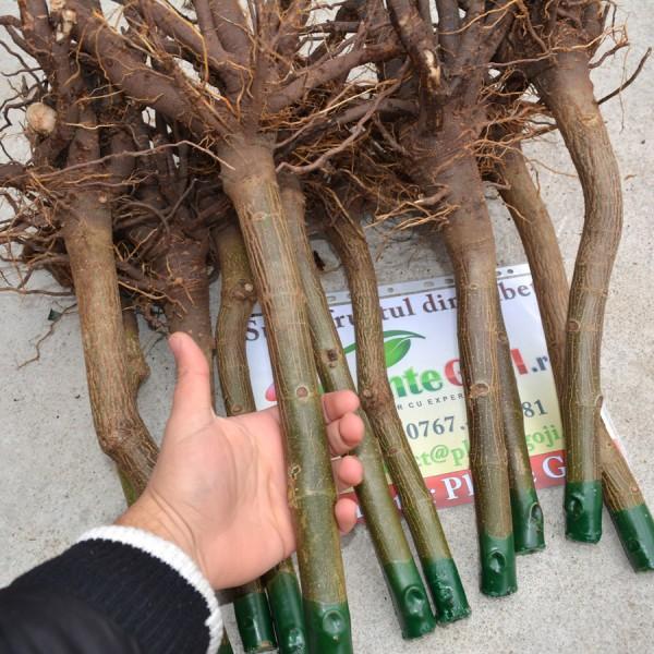 Arbori paulownia - Paulownia Fortunei - Butas Lemnificat