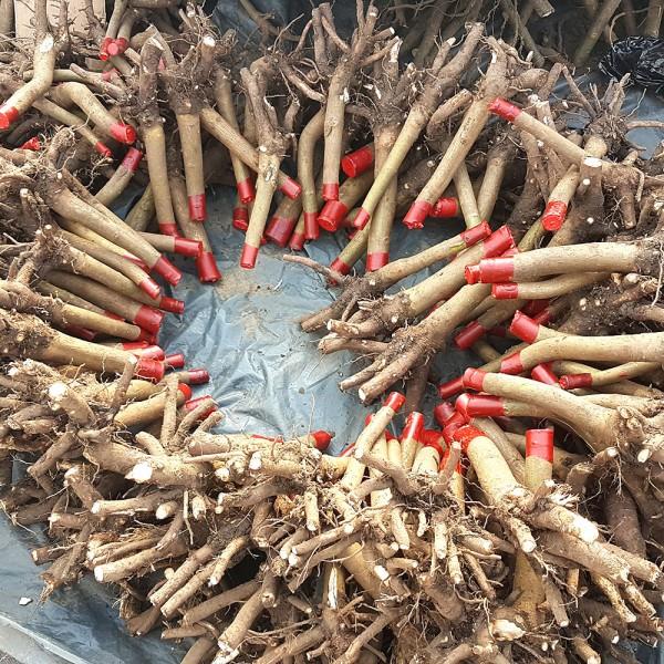 Arbori paulownia - Paulownia Shantong 4 - Oferta la 1 Ha 600 bucati