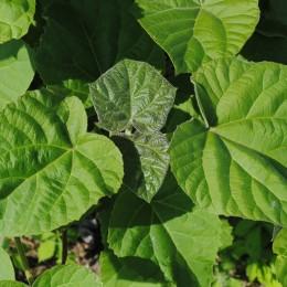 Paulownia Shantong 4 - Rasad - Arbori paulownia - AgroDenmar.ro