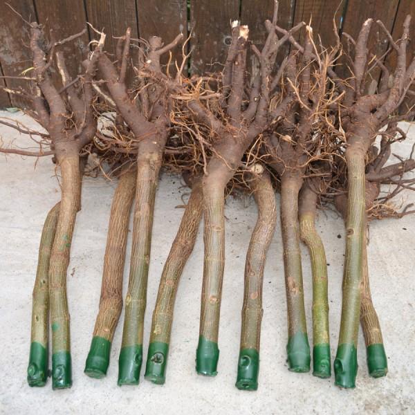 Arbori paulownia - Paulownia Tomentosa - Butas Lemnificat