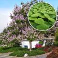 Paulownia Tomentosa ornamental - Rasad