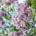 Arbori paulownia - Paulownia Tomentosa - Rasad