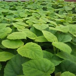 Paulownia Fortunei - Rasad - Arbori paulownia - AgroDenmar.ro