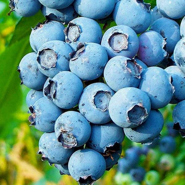 Afin Bluecrop - pe rod - Arbusti fructiferi - AgroDenmar.ro