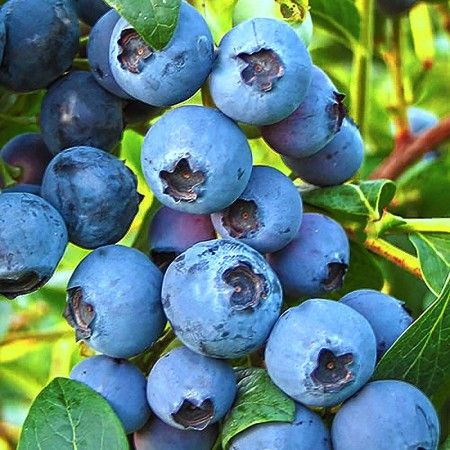 Afin Chandler - Arbusti fructiferi - AgroDenmar.ro