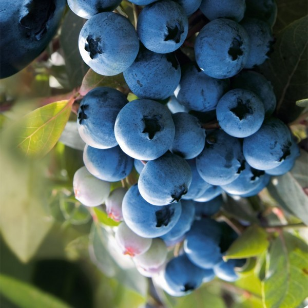 Arbusti fructiferi - Afin Duke