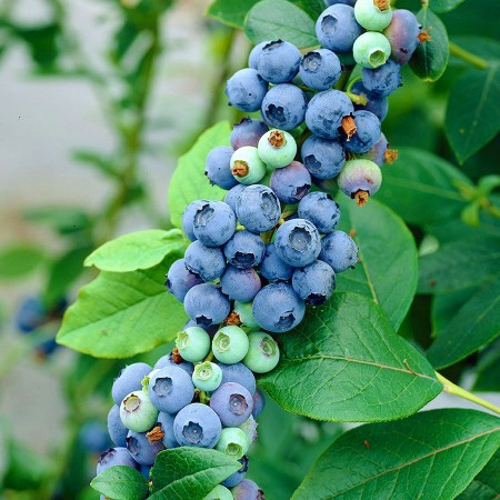 Afin Elliot - pe rod - Arbusti fructiferi - AgroDenmar.ro