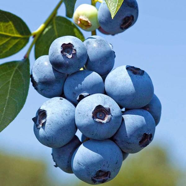 Arbusti fructiferi - Afin Hannah's Choice