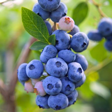 Afin Legacy - pe rod - Arbusti fructiferi - AgroDenmar.ro