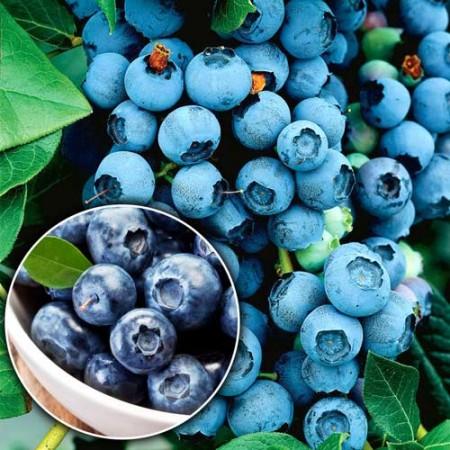 Afin Nelson - pe rod - Arbusti fructiferi - AgroDenmar.ro