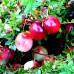 Afin Rosu - Merisor Stevens - Arbusti fructiferi - AgroDenmar.ro