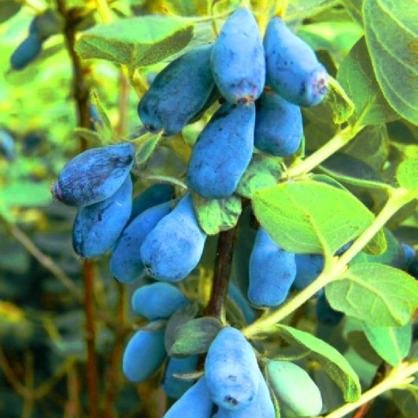 Arbusti fructiferi - Afin siberian Lonicera Duet - Boaba de miere