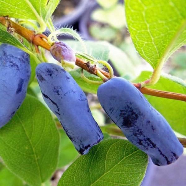 Afin siberian Lonicera Morena - Boaba de miere - Arbusti fructiferi - AgroDenmar.ro