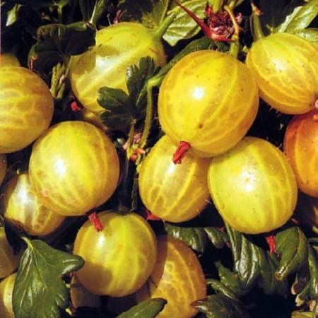 Agris alb Hinnonmaki - Arbusti fructiferi - AgroDenmar.ro