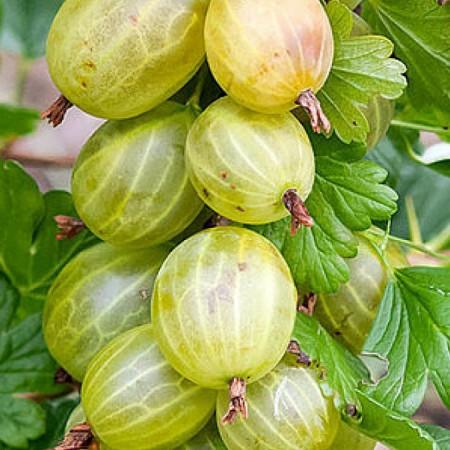 Agris alb Invicta - Arbusti fructiferi - AgroDenmar.ro
