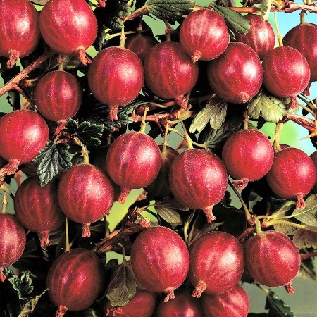 Agris rosu Hinnonmaki - tulpina inalta altoit - Arbusti fructiferi - AgroDenmar.ro