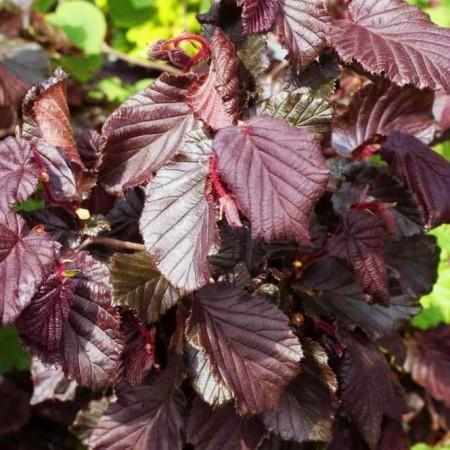 Alun rosu cret - Red Majestic - Arbusti fructiferi - AgroDenmar.ro